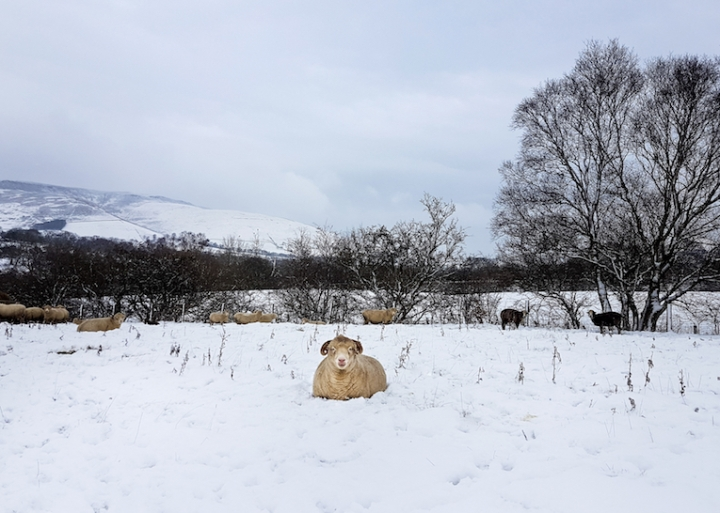 sheep in snow small